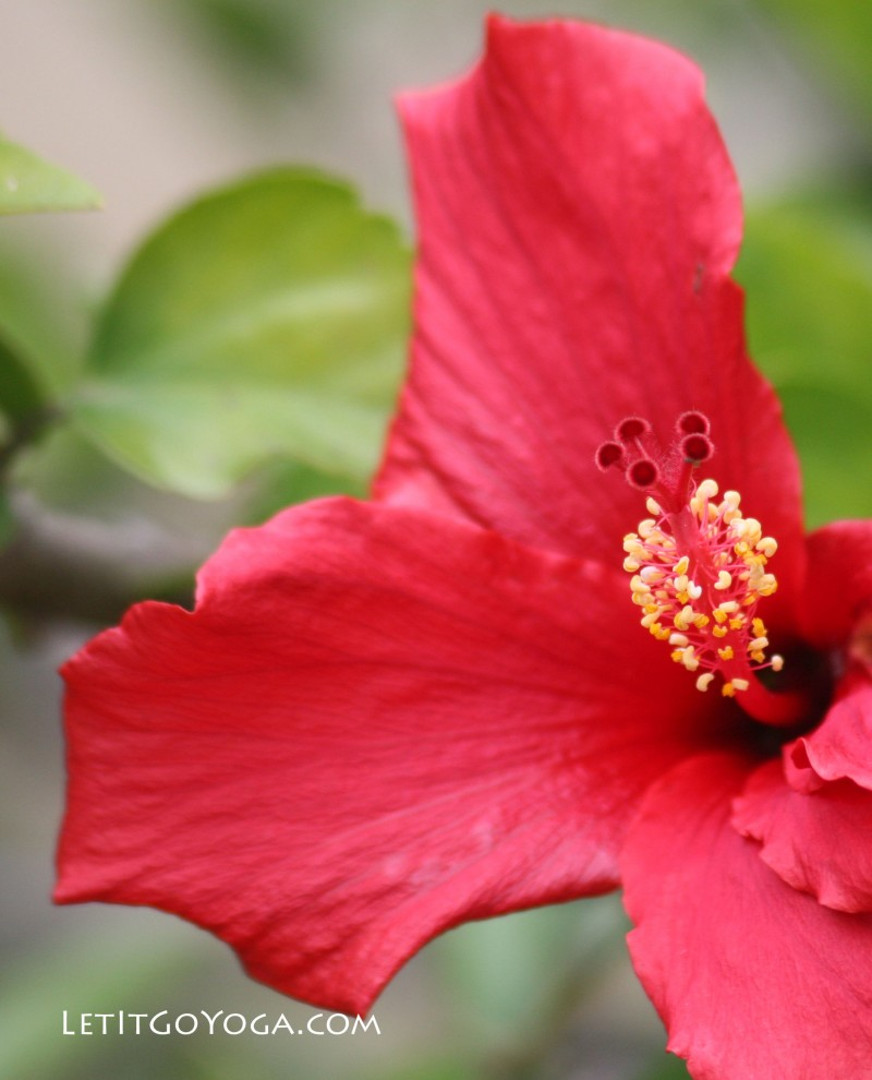 The lovely and healing hibiscus flower let it go yoga view larger image izmirmasajfo